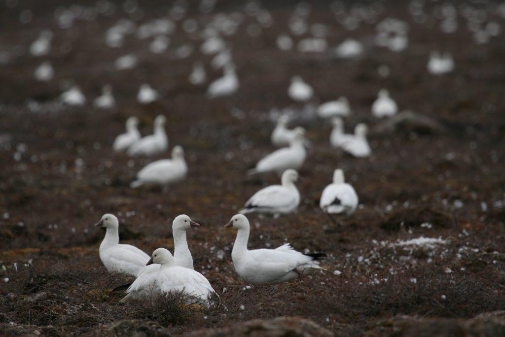 Les Oies de Ross et les Petites Oies des neiges de l'ouest de l'Arctique déclarées surabondantes au Canada